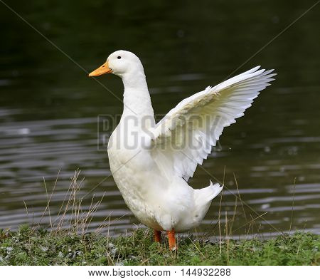 bird white goose standing on the shore of the pond to spread its wings