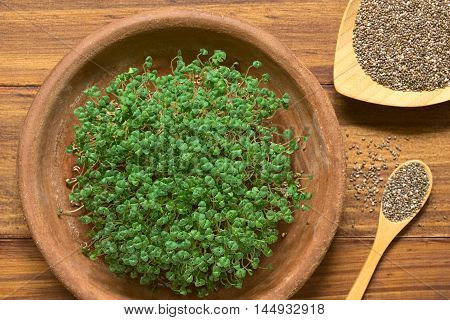Sprouted or germinated chia seeds (lat. Salvia hispanica) on terracotta plate photographed with natural light (Selective Focus Focus on the top of the sprouts)