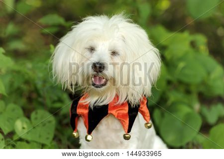 Funny dog is a cute fluffy white puppy wearing a costume and making a funny face.