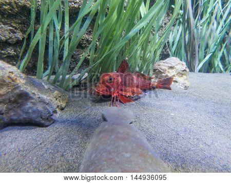 Red Fish Looking Underwater
