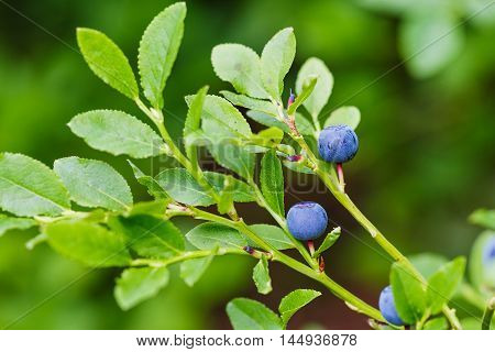 Bush Of A Ripe Bilberry In The Summer