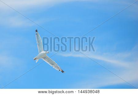 Flying white albatross over the blue sky