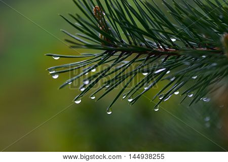closeup of water droplets on the fir leaves