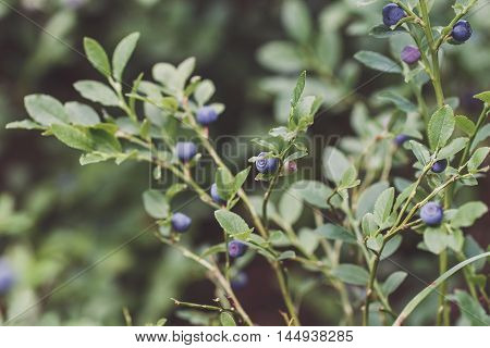 Bush Of Ripe Blueberry In Forest. Vintage Effect