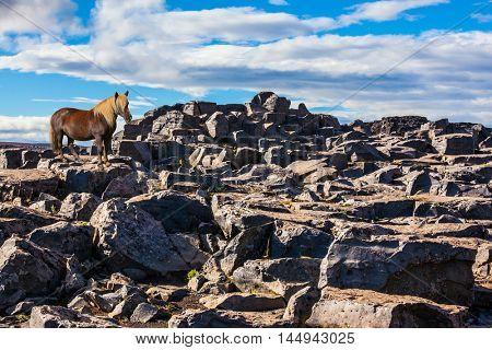 Beautiful Icelandic horse with light mane standing on a flat stone.  Iceland, Jokulsargljufur National Park. Huge stones on the plateau near a waterfall Dettifoss