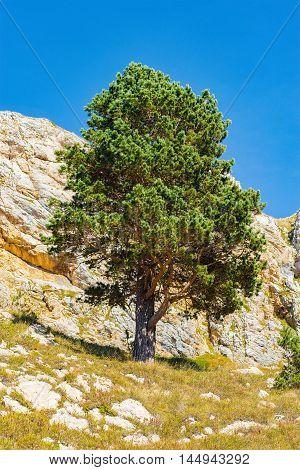 Pine tree on the mountainside. Caucasus. Russia.