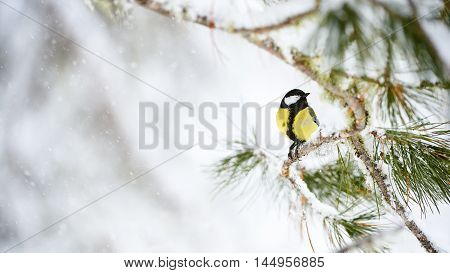 great tit perched on a branch while it snows in a cold winter