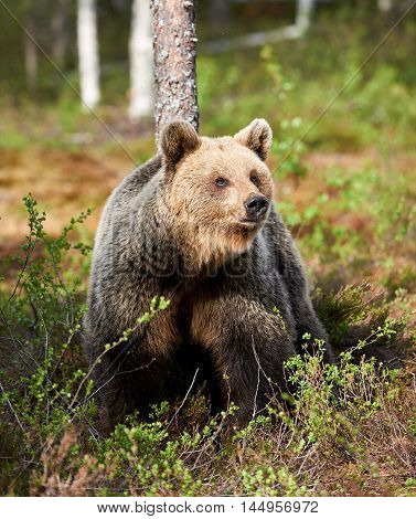Brown bear looks around in the taiga from Finland