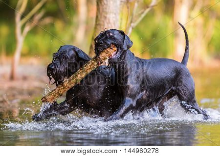 Two Standard Schnauzer Dogs With A Wooden Stick