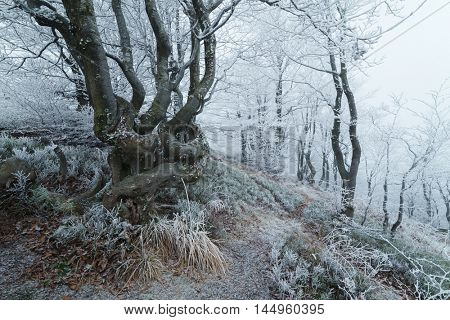 Forest landscape with fog and frost. Beech trees on the hillside. Tourist trail in the mountains. Late fall. Carpathians, Ukraine, Europe
