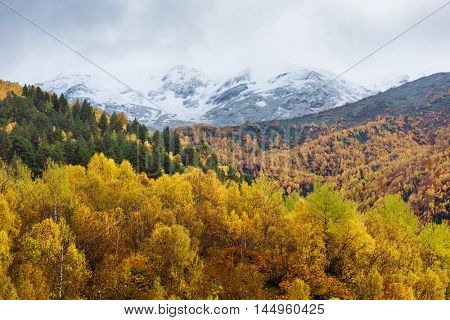 Beautiful birch forest on the mountain slopes. Autumn landscape with yellow trees and peaks with snow.