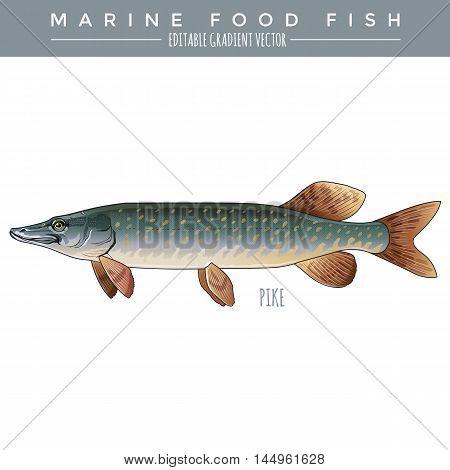 Pike illustration. Marine food fish, editable gradient vector