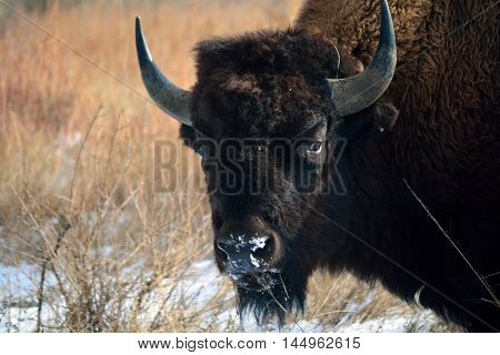 American Bison Buffalo with Horns Eating Snow on the Prairie