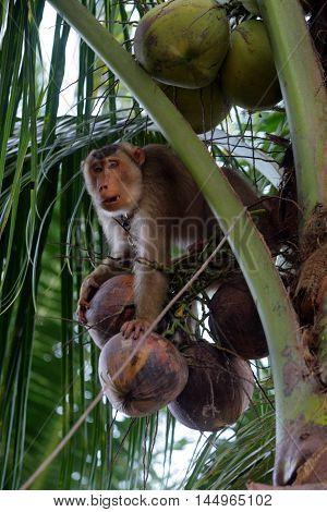 Monkeys Trained To Pluck Coconuts (kelantan, Malaysia)..