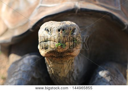 Close up of an aldabra tortoise face