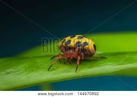 Gloden shell spider on a green leave