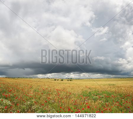 Panorama of wheat and poppy meadow. Nature panorama composition.