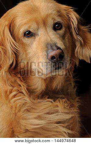 Golden Retriever Purebred Dog Listening Closeup Portrait