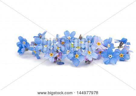 forget-me-flower spring, flower on a white background