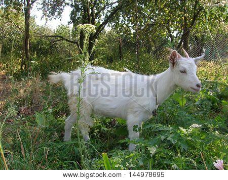 little white goat in the pasture, goat, grass, horns, animals, green, white, village, nature