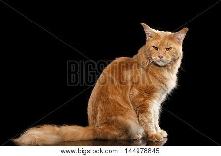 Angry Ginger Maine Coon Tabby Cat Sitting with Furry Tail and Gaze Looking in Camera Isolated on Black Background
