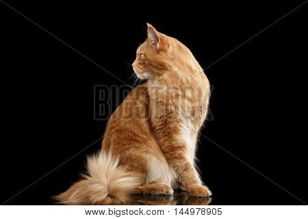 Ginger Maine Coon Cat with Furry Tail in Profile view Isolated on Black Background