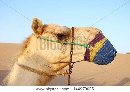Camel head muzzled. Dromedary. Unated Arab Emirates