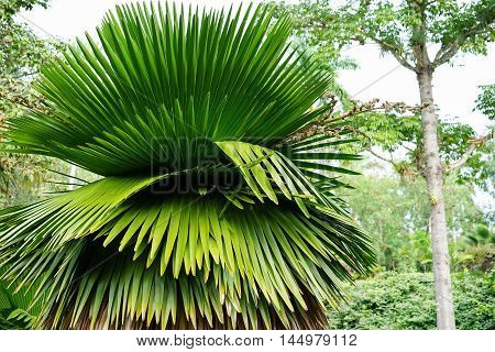 great Petticoat Palms growing in tropical Cuba