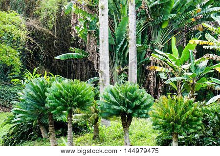 three young small royal palms growing i tropical Forest