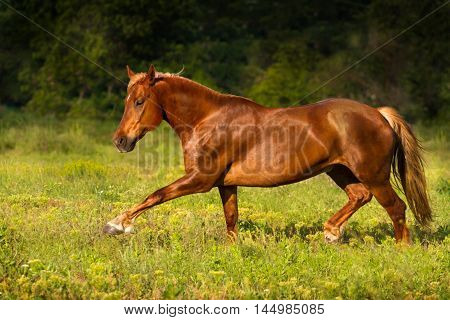 Red horse run gallop in green  field