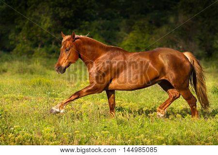 Red horse run gallop in green  field