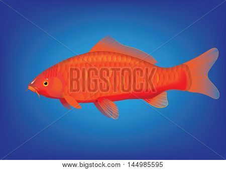 Vector illustration of koi carp breed Ogon