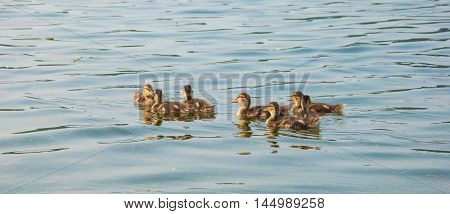 gaggle of little cute fluffy ducklings swimming on the river