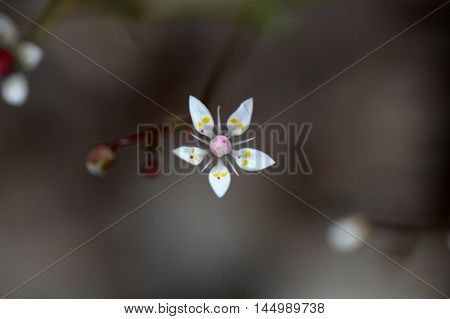 Flowers of starry saxifrage (Saxifraga stellaris) in the Alps.