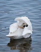 foto of trumpeter swan  - Preening Trumpeter Swan  - JPG