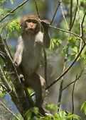 image of tarzan  - (Wild Florida Monkey) Thank you very much for looking Silver River Florida