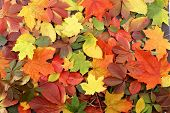 picture of fall leaves  - Colorful background of fallen autumn leaves - JPG
