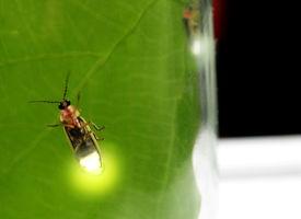 picture of lightning bugs  - lightning bugs in a jar - JPG