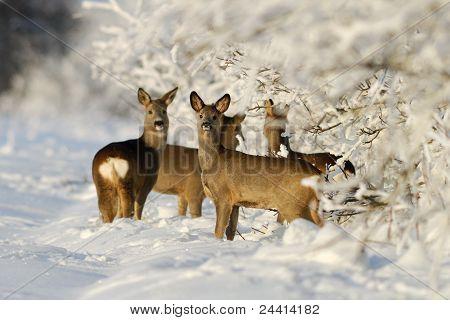 Squad Of Roe Deers