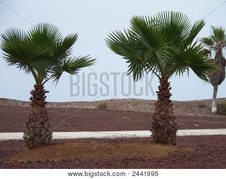 Two Baby Palms