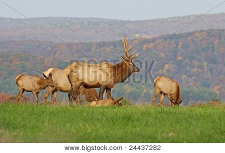 Elk in Morning Sunlight