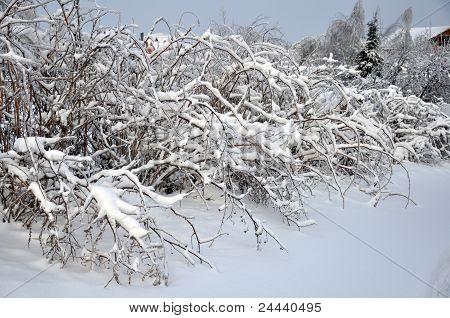 Raspberry Bush In Winter