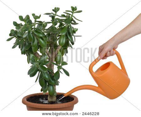 Hand Watering Dollar Plant Cutout