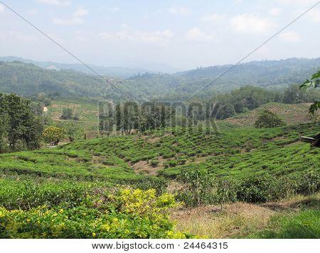 Sabah Tea Gardens