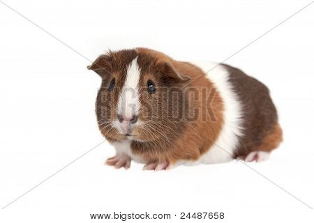 Guinea Pig on a white background.