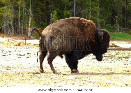 A Bison takes a brake in Yellowstone.