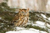 image of screech-owl  - Screech owl in fir tree roost Northern Minnesota - JPG