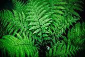 Natural Green Fern Leaves Perfect Background And Texture. Bush Ferns , Fern Branches Close Up Top An poster