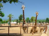 Giraffe In Safari Animal, Wildlife, Nature, African Wild Mammal poster
