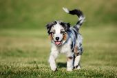 Mini Australian Shepherd Puppy Playing Outdoors In Summer poster